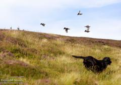 Grouse flying as dog runs through heather