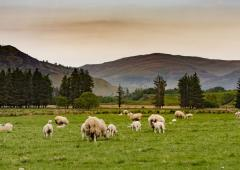Sheep on the Dalmunzie estate with view on Angus Hills