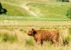 Highland cow with Angus Hills at the background