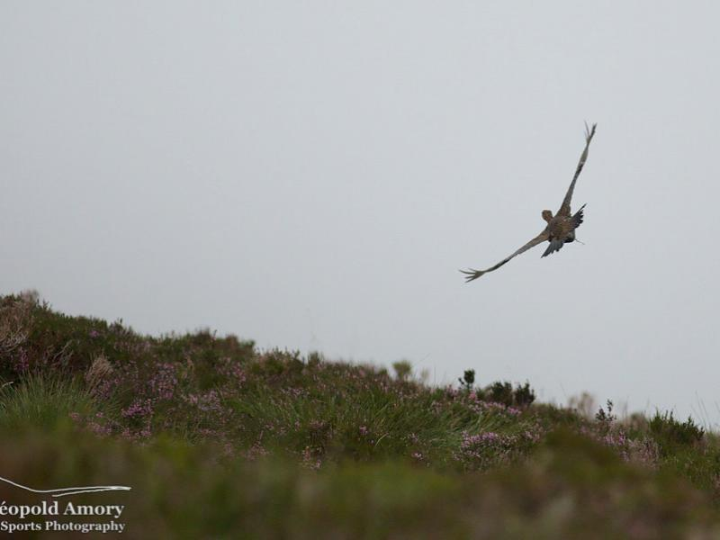 Grouse flying low over Scottish moorland