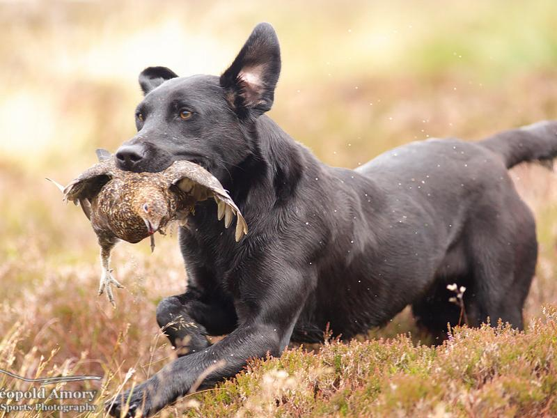 Gun dog running with grouse in mouth